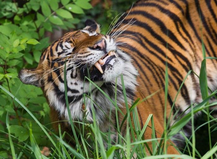 Veggie Tiger
