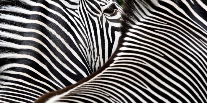 Zebra Classic