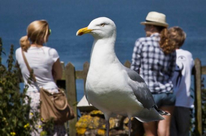 Giant Gull
