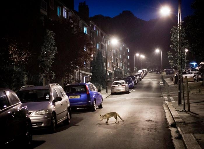 A London Fox
