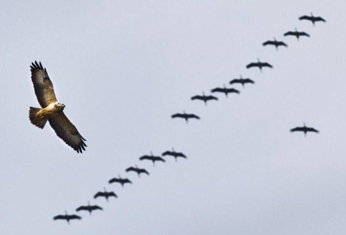 Cranes and a Buzzard
