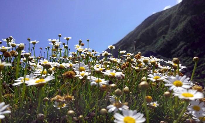 Mountain Marguerites