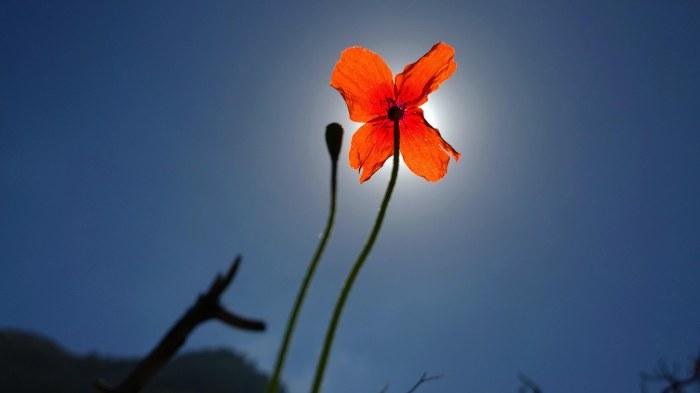Gomera Poppy