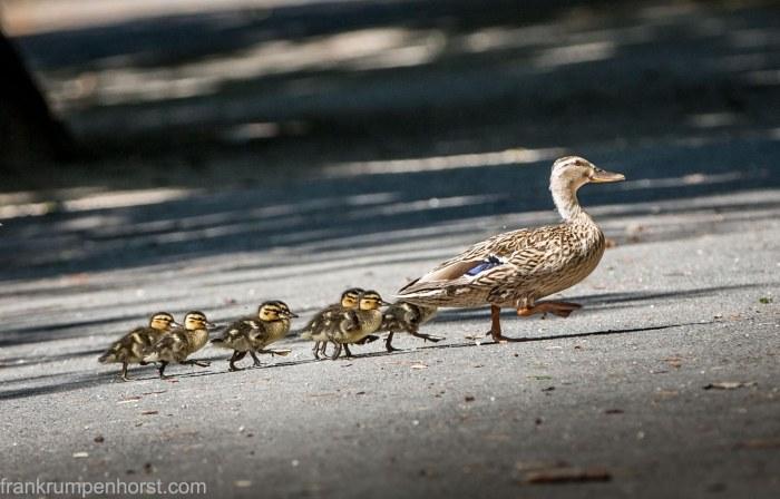 Duck Procession